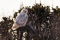 The rare Snowy Owl (Kumar Manoj Pixels) Tags: pinpixels snowy owl snowyowl snow bird