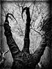(georgekells) Tags: trees branches twigs bare winter three leaves bark details tonalcontrast tones knots old blackandwhite bw monochrome uncropped nature garden dark textures handheld atmospheric bleak belfast northernireland complex