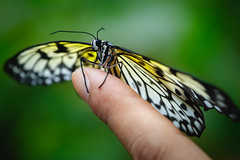 Butterfly on finger (Patrick Foto ;)) Tags: animal background beautiful beauty black blue brown bug butterfly care close closeup color colorful detail fauna finger flower fly fragility freedom garden girl green hand happiness holding human insect isolated life love macro male monarch natural nature orange pattern pretty sitting small spring summer white wild wildlife wing wings yellow singapore sg