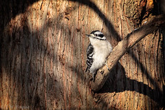 Downy Woodpecker (jwfuqua-photography) Tags: downywoodpecker backyardbirds woodpecker jwfuquaphotography peacevalleynaturecenter jerrywfuqua birds pennsylvania buckscountyparks buckscounty nature