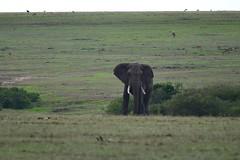 DDR_3543 (Santiago Sanz Romero) Tags: kenya wildlife animales elefante elephant ngc