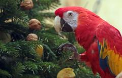 Ara Ouwehands BB2A7774 (j.a.kok) Tags: ara macaw vogel bird ouwehands