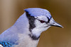 My Little Blue Friend (tresed47) Tags: 2017 201712dec 20171209homemisc birds bluejay canon7d chestercounty content december fall folder home pennsylvania peterscamera petersphotos places season takenby us