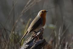 Pettirosso (carlo612001) Tags: bird birds animals robin uccello uccelli animali pettirosso nature natura cute bosco wood wildlife