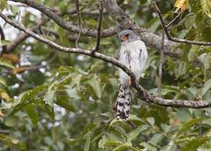 White-rumped Falcon (Polihierax insignis) (stuartreeds) Tags: whiterumpedfalcon raptor birdofprey falcon myanmar bird burma