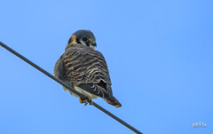 American Kestrel (jt893x) Tags: 150600mm americankestrel bird d500 falcosparverius falcon jt893x kestrel nikon nikond500 raptor sigma sigma150600mmf563dgoshsms thesunshinegroup coth alittlebeauty coth5