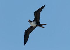 Itchy Frigatebird (_quintin_) Tags: frigatebird kauai kilauea point
