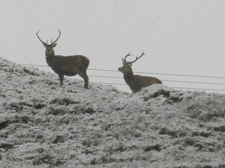 Stags, near Achnasheen, Highlands of Scotland, Boxing Day 2017