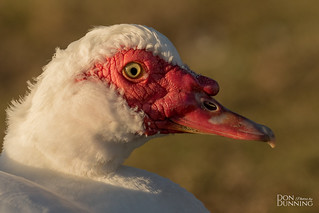 Feral Muscovy Drake (Cairina moschata)