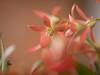 xmas bush 7 (Mariasme) Tags: red green christmasbush flowers insect grasshopper shallowdof macro challengeyouwinner cyunanimous detail