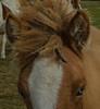 All ears (frankmh) Tags: horse icelandichorse macro ear kullagunnarstorp helsingborg skåne sweden outdoor
