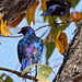 Cape Glossy Starling - back view