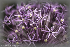 20170605-2960-Allium-bw (Rob_Boon) Tags: allium colefpro4 macro plant flower robboon coth coth5