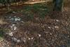 Clitocybe nebularis, (1/2), clouded agaric, Nebelgrauer Trichterling, Hexenring (gerhard.wolff2016) Tags: finsterkammer hexenringe pfalz pilze wald hellgrau fungi feenringe fairyrings nebelgrauetrichterling nebelkappe graukappe clitocybenebularis synlepistanebularis cloudedagaric cloudfunnel weis weislich pfälzerwald sonye1670mmf4zaoss sonysel1670z sonyilce6300 sonya6300