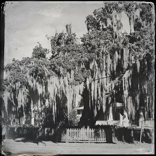 Today's HipstaPrint:  Live Oak on Lakeshore Dr.