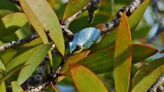 Madagascar Blue-back Reed Frog (Heterixalus madagascariensis)