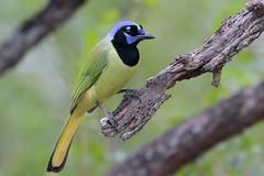 Green Jay (Greg Lavaty Photography) Tags: greenjay cyanocoraxyncas texas december bentsen statepark worldbirdingcenter hidalgocounty jay riogrande valley birdphotography outdoors bird nature wildlife