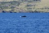 friendly neighborhood whale (BarryFackler) Tags: kawaihae oceansports bettysbirthday2017 whales megapteranovaeangliae humpbackwhales cetaceans marinemammals mnovaeangliae baleenwhales coast shoreline beach houses coastal land seashore coastline kohalacoast cliffs pali kohola shore alala boat catamaran barryfackler barronfackler 2017 motorvessel vessel watercraft water sea pacificocean saltwater bay pacific hawaii hawaiiisland hawaiianislands hawaiicounty kohala outdoor polynesia bigisland westhawaii nature cruise tour