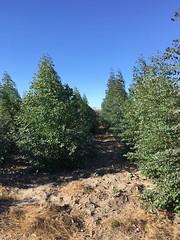 "GWD Forestry eucalyptus establishment 2017 <a style=""margin-left:10px; font-size:0.8em;"" href=""http://www.flickr.com/photos/47172958@N02/38556147995/"" target=""_blank"">@flickr</a>"