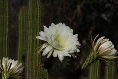 Trichocereus spachianus (Runabout63) Tags: trichocereus flower cacti cactus