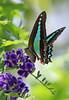 Bluebottle Butterfly 022 (DMT@YLOR) Tags: bush shrub tree geishagirl butterfly bluebottlebutterfly goodna ipswich queensland australia garden visitor bluetrianglebutterfly