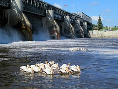 Red River Dam (D-Stanley) Tags: pelicans standrewslock redriver lockport manitoba canada