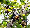 Flying fox (asheshr) Tags: bats d7200 flyingfox nikkor nikkor18140mm nikon nikond7200 odisha orissa singhanathtemple wildanimal wildlife