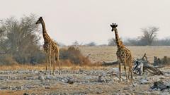 zu zweit unterwegs (marionkaminski) Tags: namibia afrika africa animal animali animale dieren etoshanationalpark etoshanp panasonic lumixfz1000