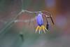 Lunar Lander (Kevin Rheese) Tags: dianellatasmanica flower australian native wildflower macro