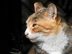 Cat portrait -1 (Guan_ting) Tags: 近照 特寫 cat closeup portrait 2018 植物園 taipei botanical garden nikon p900