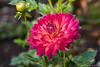 The Dahlia (jimgspokane) Tags: dahlias flowers spokanewashingtonstate otw