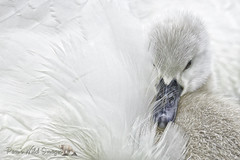 Hide Me Mom (PamsWildImages) Tags: swan bc bird britishcolumbia baby signet nature naturephotographer wildlife wildlifephotographer mute pamswildimages pammullins