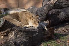 december 2017 brookfield zoo (timp37) Tags: lioness brookfield zoo 2017 december illinois winter