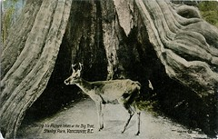 Deer, Big Tree, Stanley Park, Vancouver, BC (SwellMap) Tags: postcard vintage retro pc 30s 40s 50s 60s thirties forties sixties fifties roadside midcentury atomicage nostalgia americana advertising coldwar artdeco linen design style architecture building
