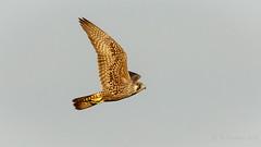 Peregrine Falcon (Bob Gunderson) Tags: alamedacounty arrowheadmarsh birds birdsofprey california eastbay falcoperegrinus falcons northerncalifornia peregrinefalcon