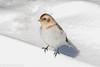 Snow Bunting #2 (rdroniuk) Tags: birds passerines smallbirds snowbunting plectrophenaxnivalis oiseaux passereaux bruantdesneiges