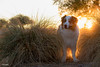 The Golden Child (Jasper's Human) Tags: aussie australianshepherd dog sunset