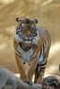 Striped Lookout (greekgal.esm) Tags: sumatrantiger tiger bigcat cat feline animal mammal carnivore losangeleszoo lazoo losangeles griffithpark sony rx10m3 rx10iii indah
