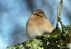 Female Chaffinch at Stover. (ronalddavey80) Tags: chaffinch female canon eos70d tamron 70300mm