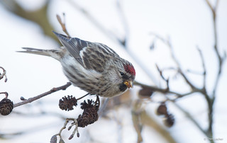 Grote Barmsijs - Common Redpoll - Carduelis flammea -2918