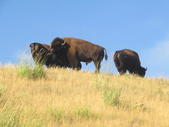 Bisons on Lamar Valley (Give-on) Tags: america usa wyoming yellowstonenationalpark bison lamarvalley herd wild wildlife nationalpark nature grass drive roadtrip