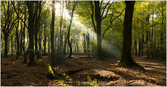 """""""Into the woods"""", Netherlands (CvK Photography) Tags: autumn autumncolors canon color cvk europe fall forest gelderland nature netherlands outdoor veluwe ermelo nederland nl sunray sunbeam"""
