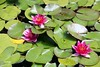 Nenúfar  IMG_7124 (XimoPons : vistas 4.000.000 views) Tags: ximopons australia flores oceania flowers