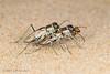 Tiger Beetles (jgruber111) Tags: cicindelinae carabidae coleoptera insect macro entomology