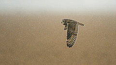 Short-eared Owl hunting in the snow (Thomas Muir) Tags: asioflammeus tommuir woodcounty ohio bowlinggreen outdoor migration 600mm nikon d800 flying hunting bird prey raptor december shorteared owl nature flyby midwest northamerica unitedstatesofamerica