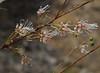 Grevillea endlicheriana, Red Hill, near Perth, WA, 18/10/17 (Russell Cumming) Tags: plant grevillea grevilleaendlicheriana proteaceae redhill perth westernaustralia