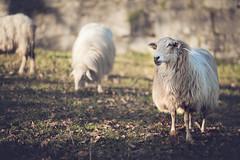 Oveja en la ciudadela de Donibane Garazi (Gure Elia) Tags: sheep oveja donibanegarazi ciudadela coldtones samyang135f2 bokeh stjeandepieddeport animal portrait