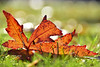 Catch all the light you can (James_D_Images) Tags: fallen leaf fall autumn grass backlit bokeh sunlight closeup