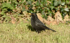 Blackbird (BBurke88) Tags: garden birds wildlife nature conservation wicklow ireland