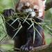 Red+panda+eating+leaves+II
